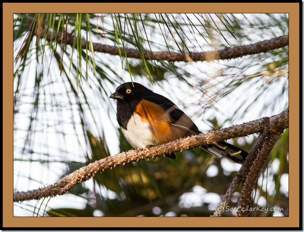 Eastern Towhee in Cedar Key