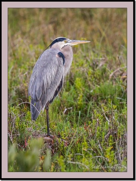 Great Blue Heron resting in Cedar Key