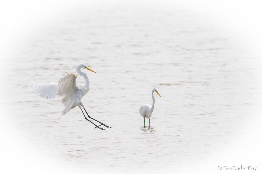 Great Egrets In Cedar Key Seecedarkey