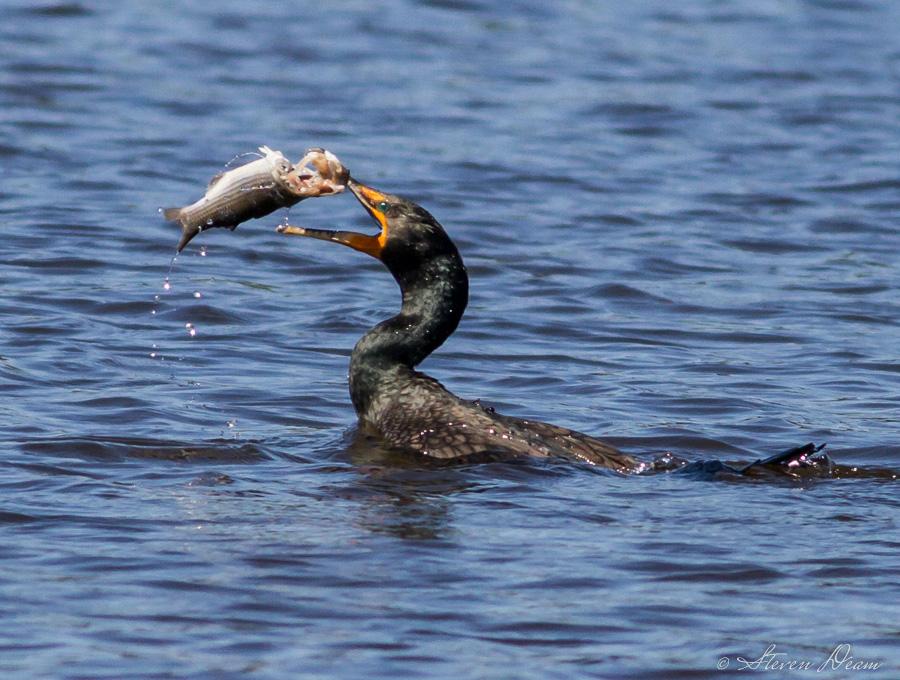 how to fish cormorant flies
