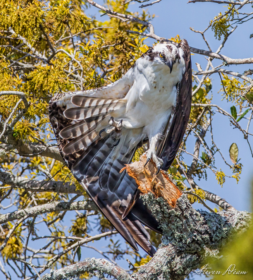 Osprey stretching in Cedar Key