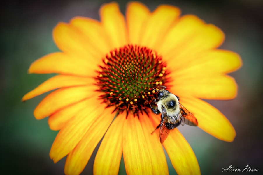 Bumble Bee on a daisy