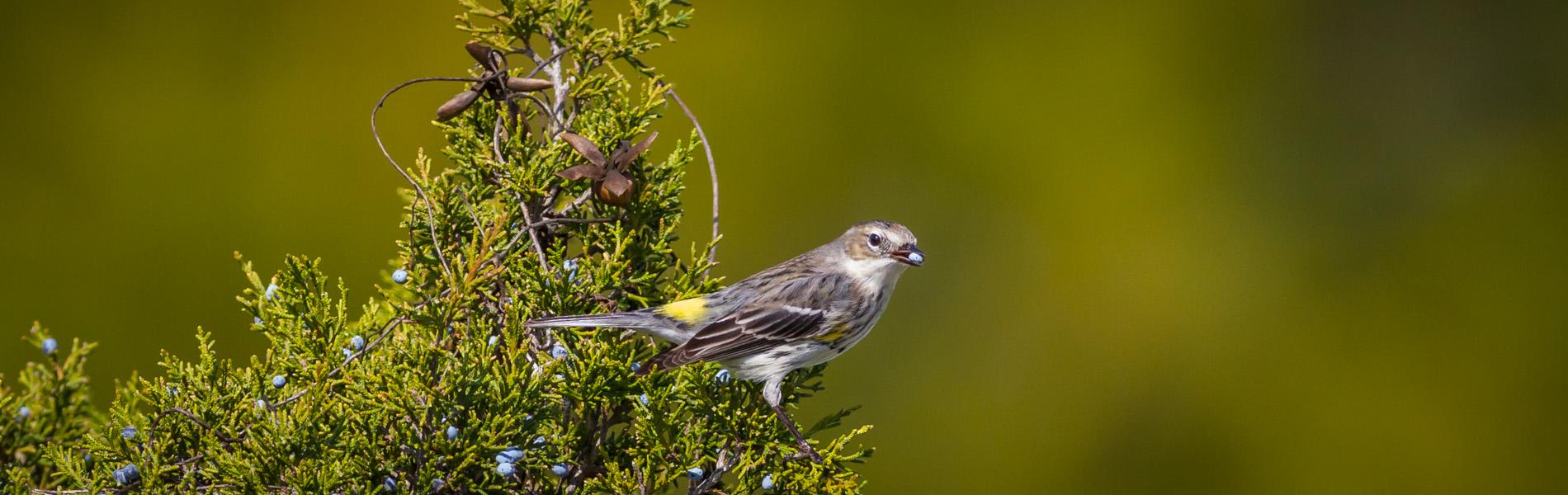 Cedar Key birds