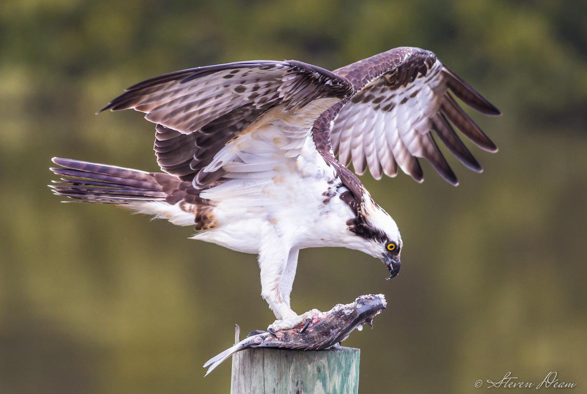Osprey feeding in Cedar Key