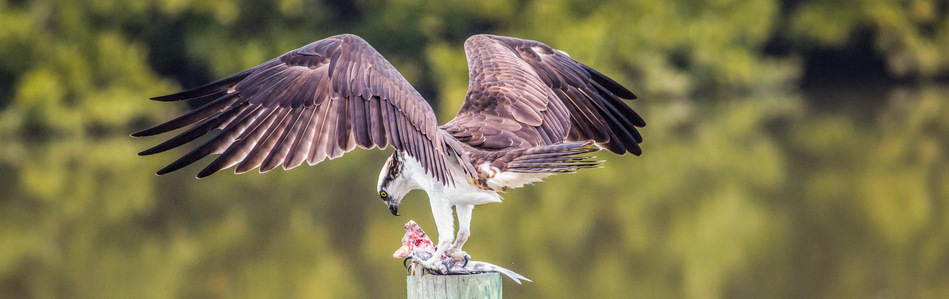 Osprey landing in Cedar Key